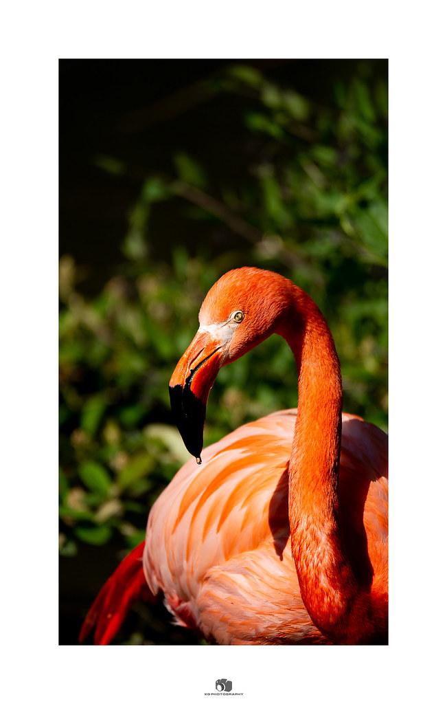 Flamant Rose De Cuba Xavier Gardere Flickr