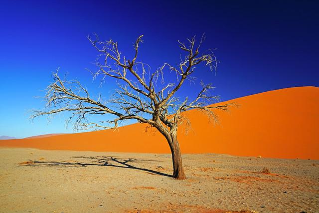 Spectacular dry tree next to the Dune 45, Sossusvlei, Namibia