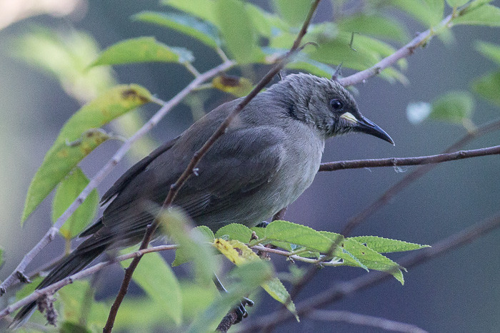 White-gaped Honeyeater
