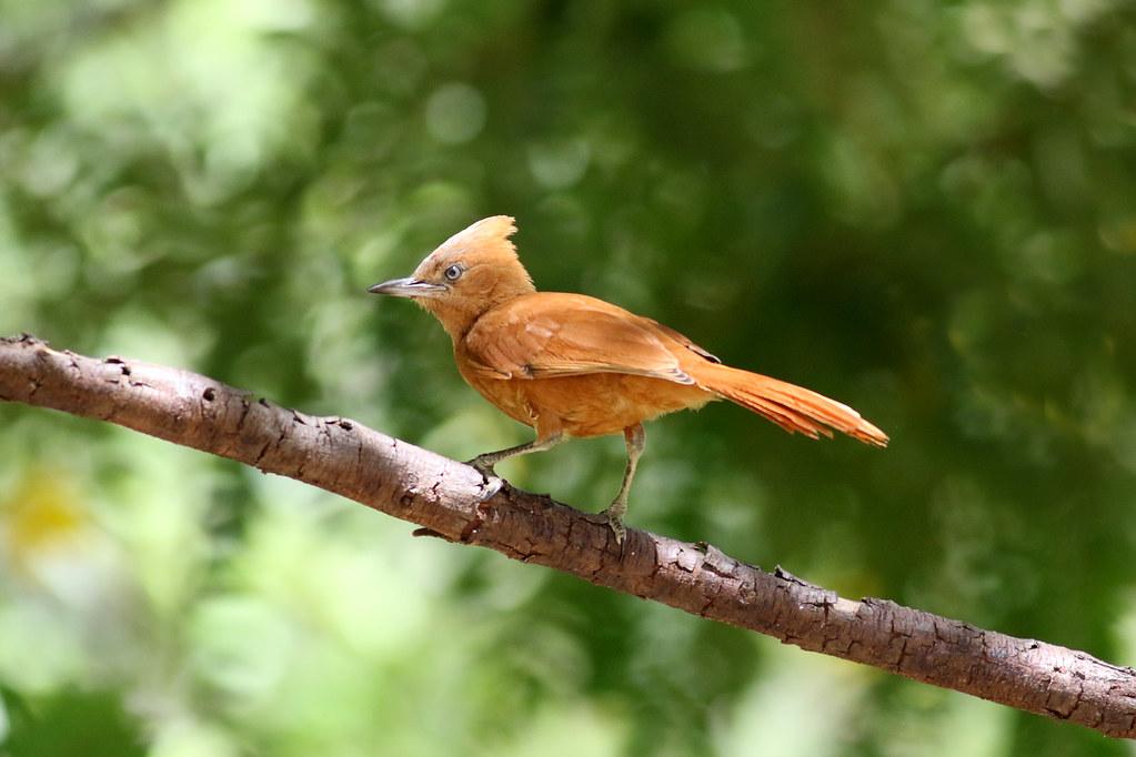 Caatinga Cacholote (Pseudoseisura cristata)