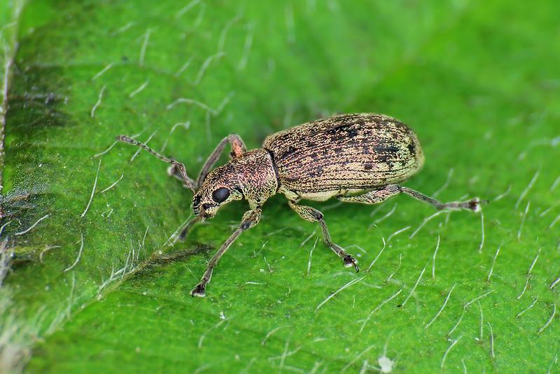 Polydrusus cervinus