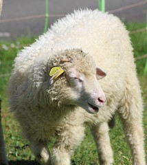 The Sheep of Vimy