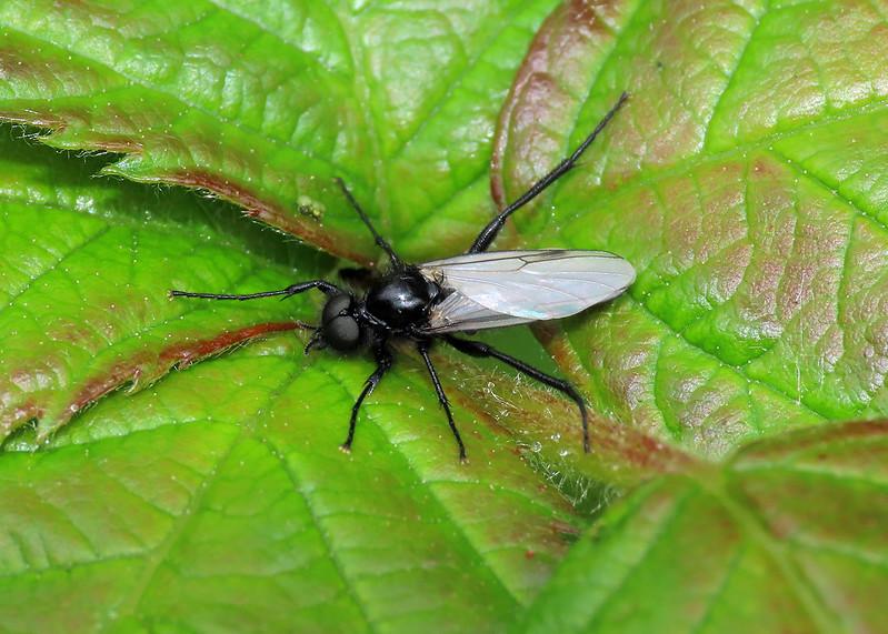 Bibio leucopterus
