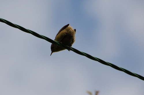 Wren on high wire