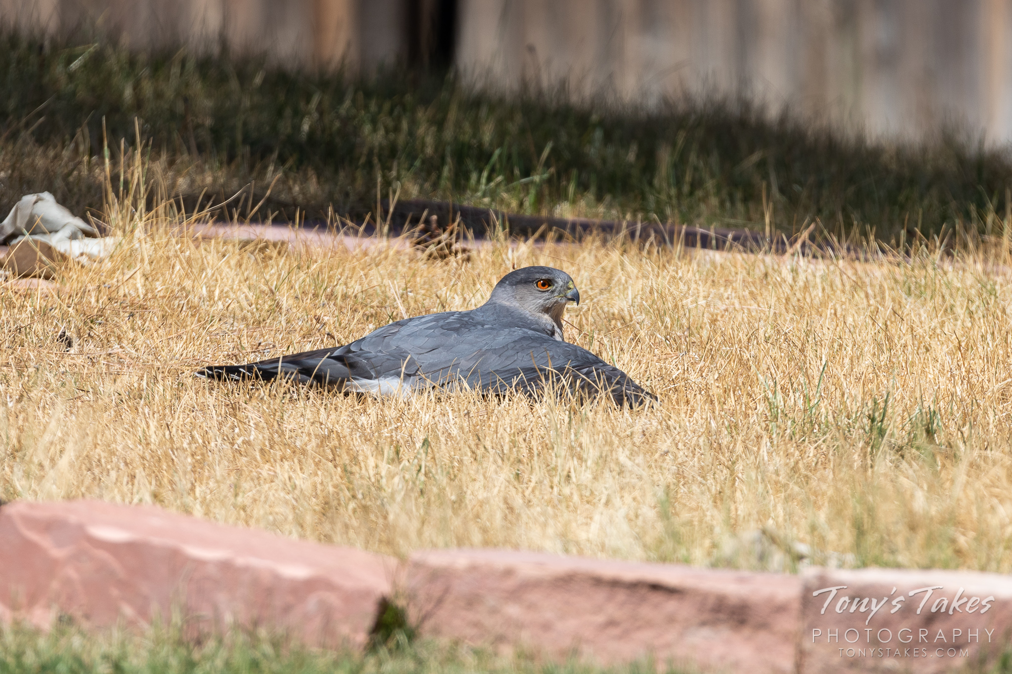 A Cooper's hawk stakes out a spot in a suburban backyard in Thornton, Colorado. (© Tony's Takes)