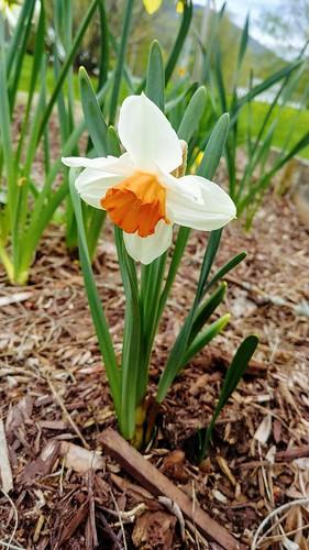 First Cool Flame Daffodil
