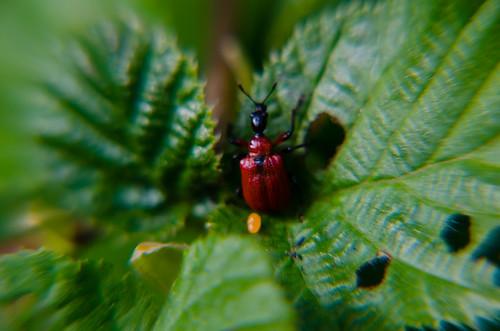 Hazel leaf roller weevil on hazel leaf