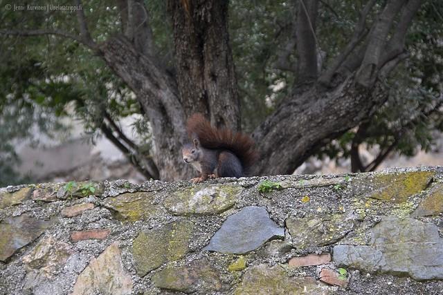 Orava Gibralfaron linnoituksella