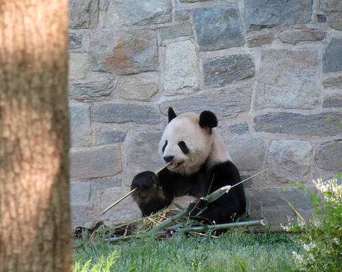 Tian Tian on his patio