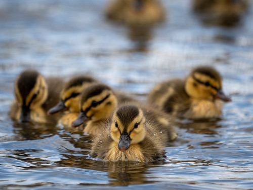 Baby Mallards | by Max and Dee