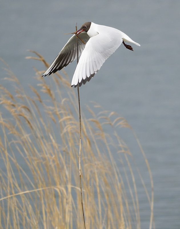 Black-headed Gull collecting nest material