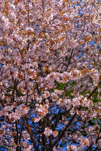 12-05-2019 Sakura (6)