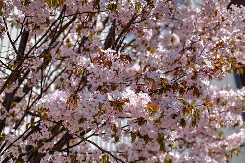 12-05-2019 Sakura (2)