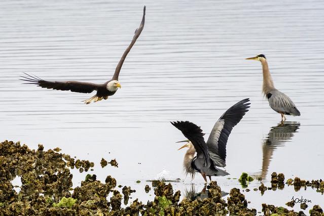 Eagle & Herons
