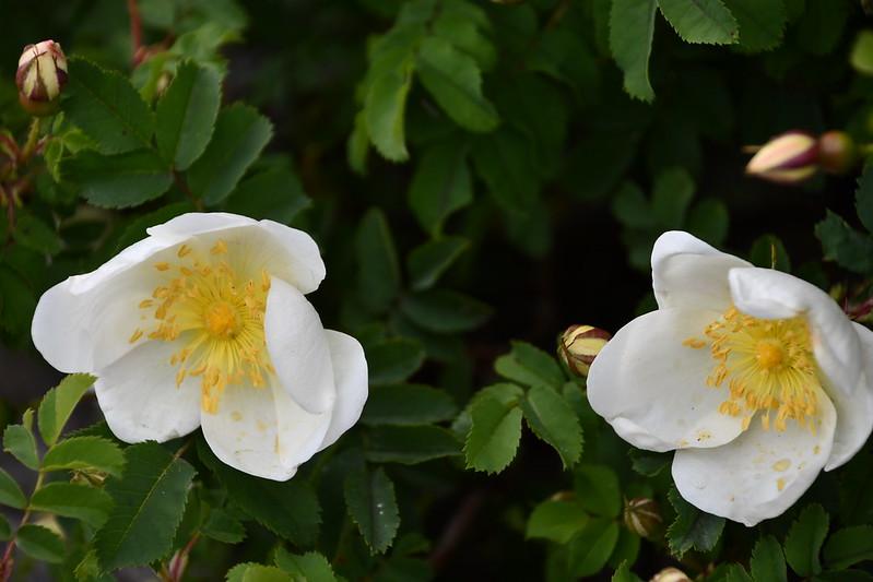 Scotch Rose 12.05.2019