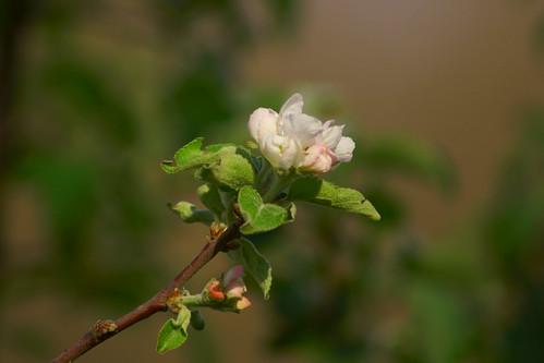 Цветы яблони / Flowers of apple tree   by Владимир-61