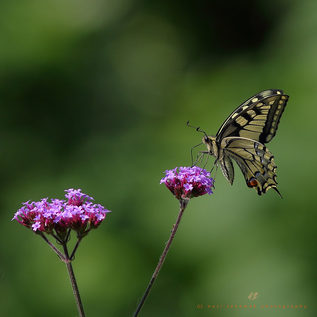 swallowtail / machaon