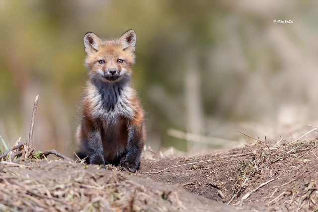 Red Fox - kit