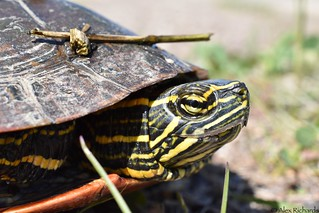 Western Painted Turtle (Chrysemys picta bellii) | by CanebrakeRattlesnake
