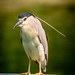 Black-crowned night heron in Xiamen Yundang Lake