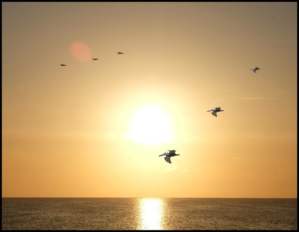 5-9-19 - Pelicans passing through the setting sun