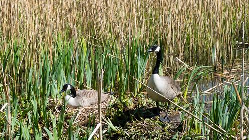 Canada goose nest, Bag's Pool