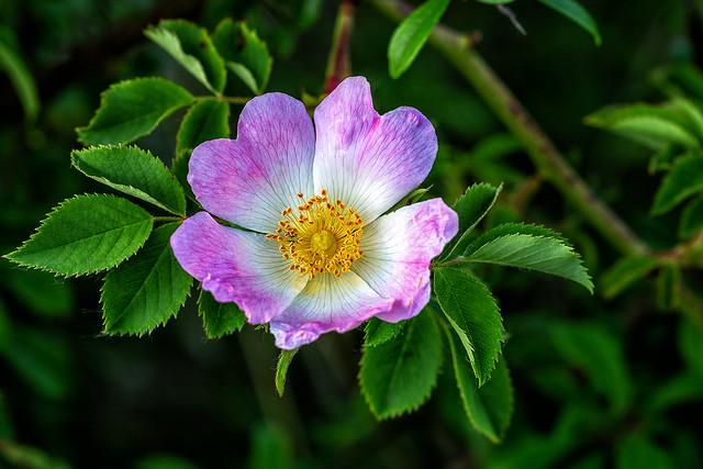 """"""" allons sous la chamille, ou l'églantier fleuri, dans l'ombre ou sont les grands chuchottementes des chênes » Victor Hugo."""