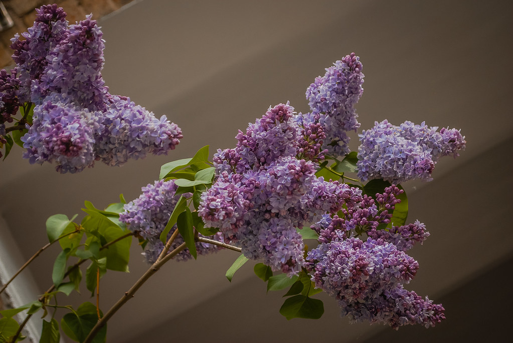 Splendid lilac bloom!  11:59:54  DSC_3133