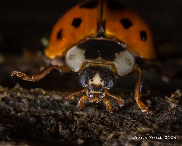 Low Light Ladybug