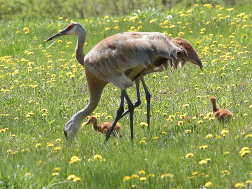 Sandhill Crane with colts 094-20190510
