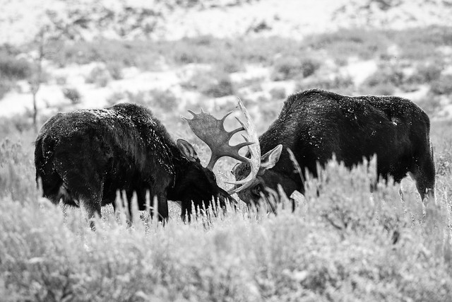 Moose sparring on Antelope Flats, Grand Teton National Park. December, 2018.