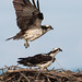 Osprey of the Jersey Shore | 2019 - 8