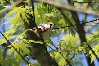 Chestnut-sided Warbler by Marty Calabrese