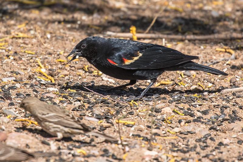 Red-winged-Blackbird-42-7D2-041419