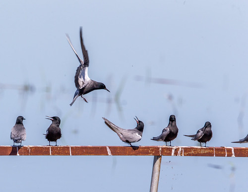 Black Terns, 5/14/19, Cheyenne Bottoms, Barton County, Ks.