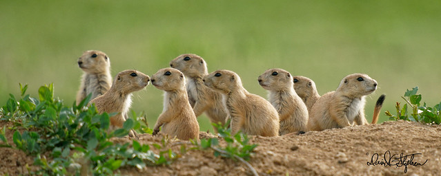 Prairie Dog Puppies