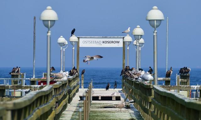 Koserow - Cormorants and Gulls