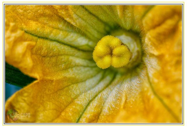 """FLEUR DE COURGETTE: """" C'est par les fleurs qu'on devine les fruits. """""""