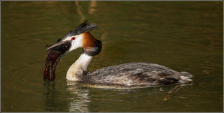 Hungry Grebe | by Evelakes67