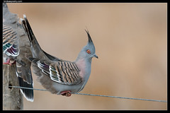Crested Pigeon: Tails Up!