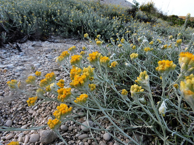 6_Helichrysum stoechas