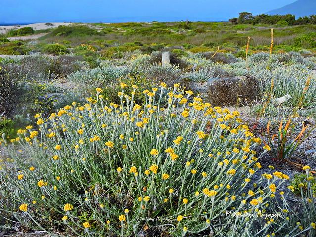 4_Helichrysum stoechas