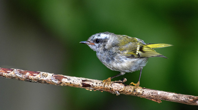 Golden Crowed Kinglet