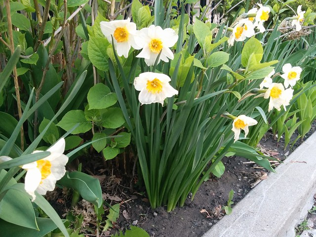 White and yellow narcissus #toronto #dovercourtvillage #bartlettavenue #flowers #narcissus #yellow #white #latergram