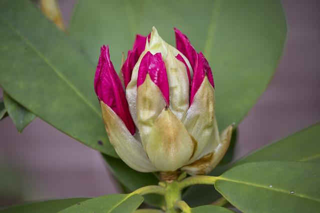 Flor de rododendro-2