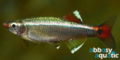 white cloud tetra