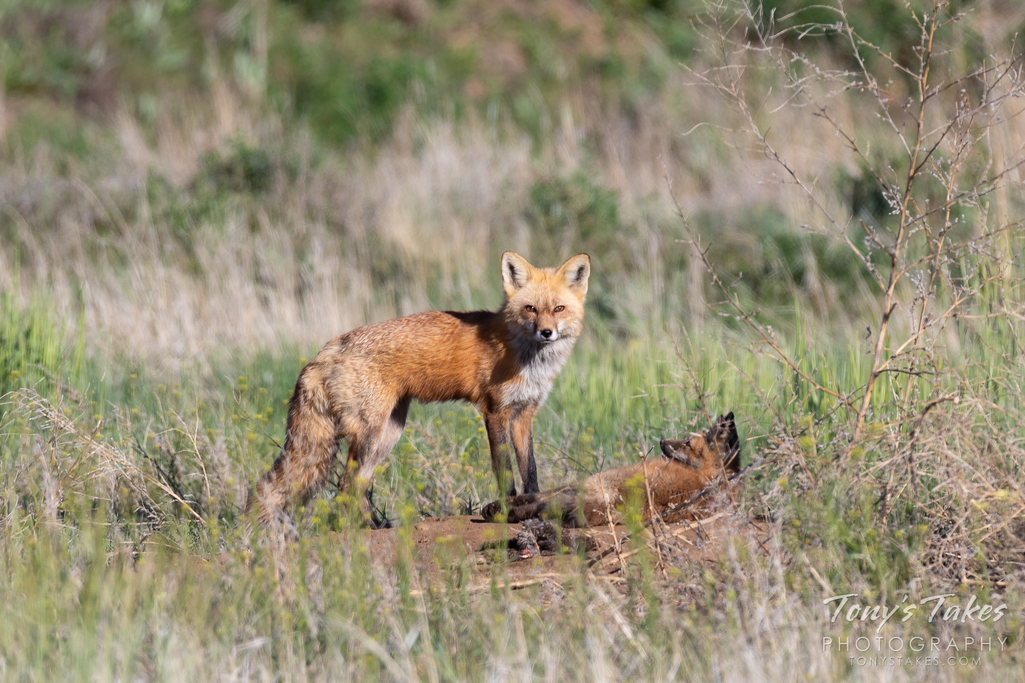 A male red fox keeps watch while its kit tries to get it to play. (© Tony's Takes)