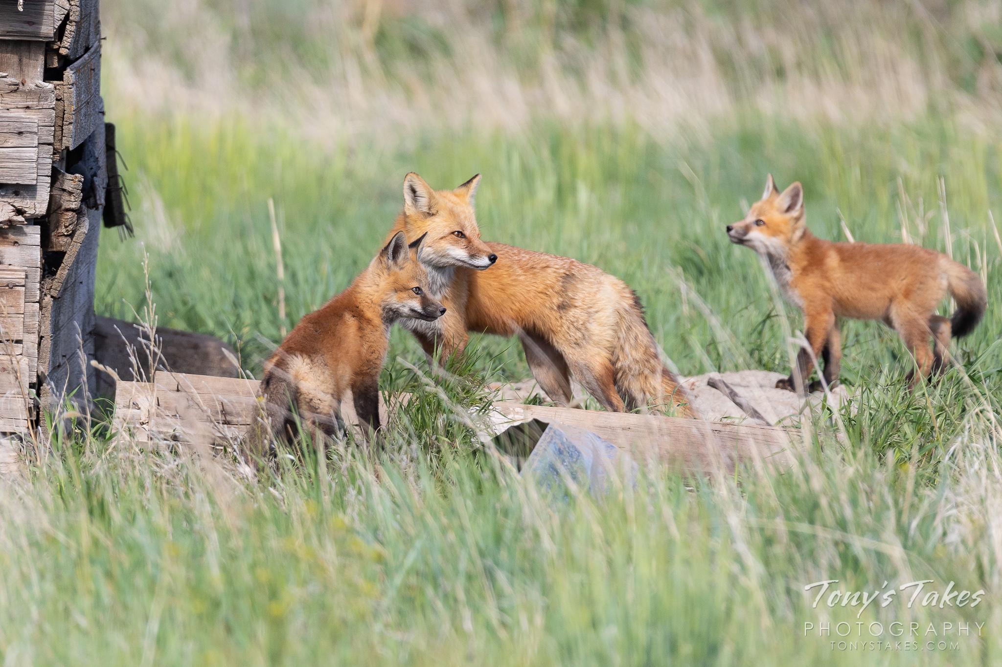 Fox dad keeps watch on the kits