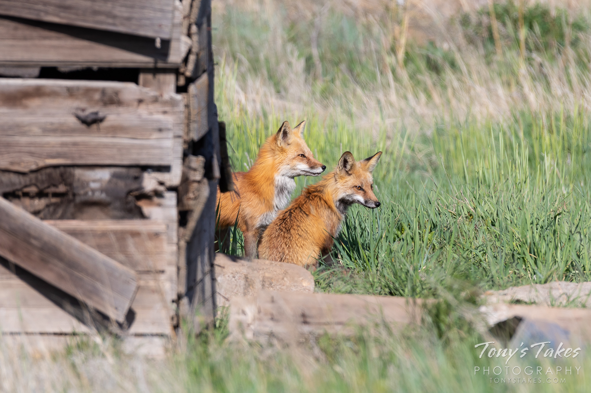 Red fox parents keep watch from near their den in northern Colorado. (© Tony's Takes)