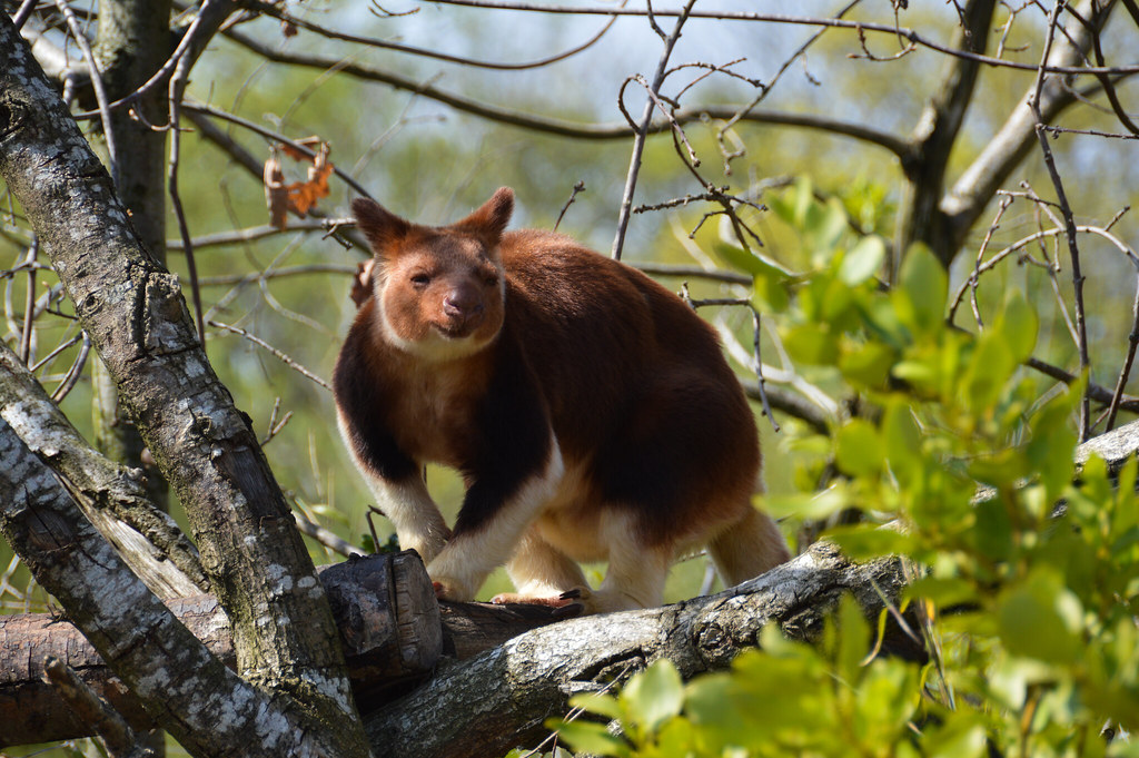 Tudtad- e, hogy fakúszó kenguruk is léteznek?